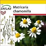 SAFLAX - Set de cultivo - Manzanilla común - 300 semillas - Con mini-invernadero, sustrato de cultivo y 2 maceteros - Matricaria chamomilla