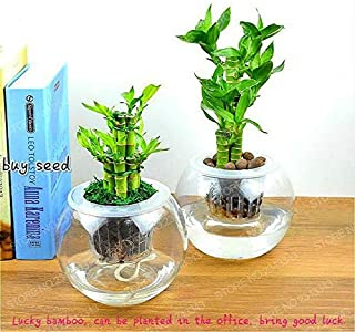 Best lucky bamboo seeds india Reviews