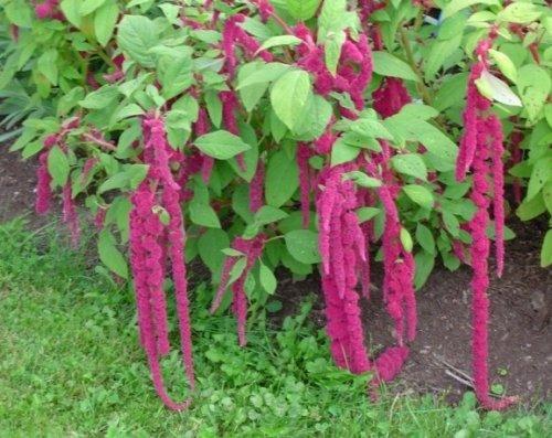 Roter Garten-Fuchsschwanz - Amaranthus caudatus - 1000 Samen