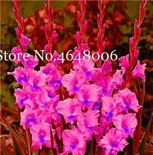 FARMERLY Paquete de semillas Jardín Bonsai gladiolo, No Gladiolo Bulbos, Planta de tiesto -Color Semillas De Flores 95% de germinación 200 PC: v