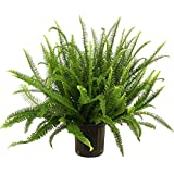PHULWAR- Kimberly Queen Fern- Nephrolepis obliterata- Air Purifier