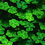 SOTEER Glücksklee Samen Drei Blätter oder Vierblättriges Kleeblatt Bonsai Blumensamen - Liebe und Glück für den Garten