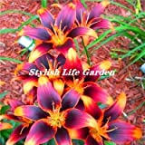 HANO Sales! 100Pcs Spider Lily Flower Bonsai, Perfume Lily Flower Flores,Rare Lily Flower Garden Plant, Yard Balcony Decoration : 9