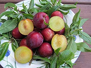 Scarlet Beauty Plum Tree 15 Seeds UPC 907620997746 Self Pollinating