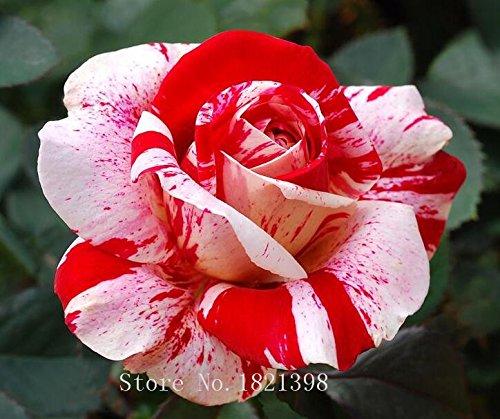 100PCS Fleur Rose Graine Hollande Amoureux des semences cadeau Orange Vert arc-en-RARE Couleur 24 Bricolage choisir le jardinage Fleur 4