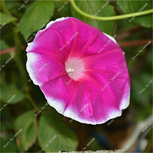Matin coloré rare gloire Graine géant Pétunia Graine de mariage Décoration Pots de fleurs Flower Street Creeping Herb plantes 30 Pcs 13