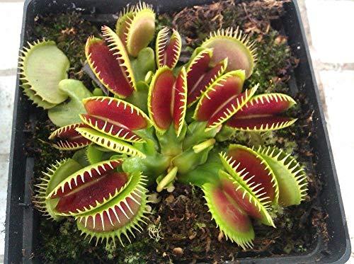 100 Pz Giardino Pianta in vaso acchiappamosche Seme clip Bonsai Dionaea muscipula gigante Venere acchiappamosche seminare semi Pianta carnivora 15