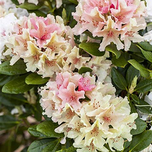 Rhododendron yak. Percy Wiseman...