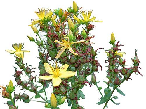 Echtes Johanniskraut Saatgut -hypericum perforatum- -Mengenauswahl- (500)