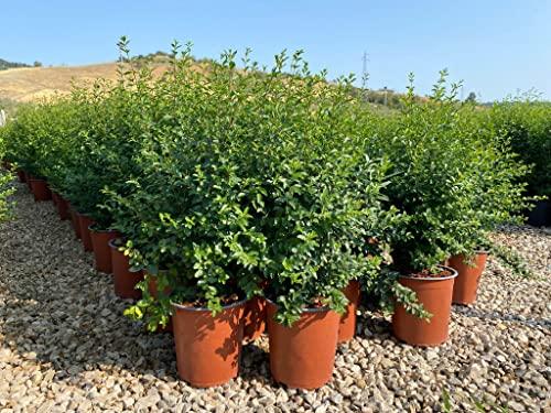 Ligustrum Sinense (Ligustro della Cina) vaso 19