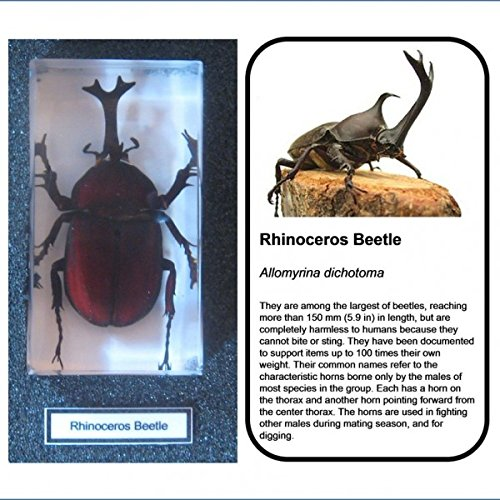 Real insects Scarab Beetle Crystal Clear Resin Taxidermy Specimen Collector Gift
