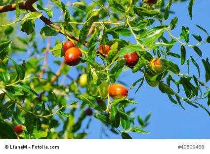 Chinesischer Dattelbaum Ziziphus jujuba Brustbeere 5 Samen
