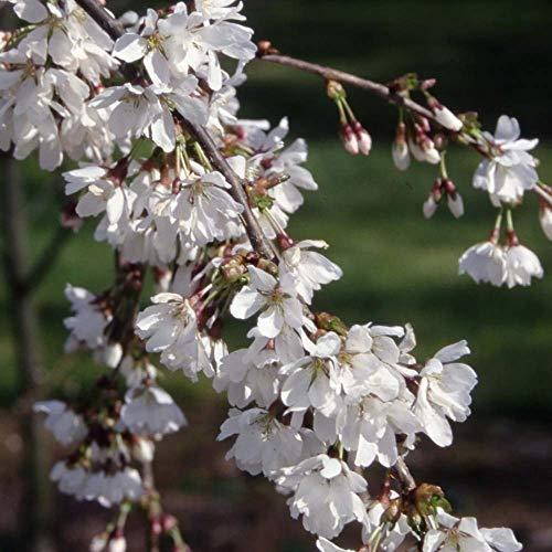 Prunus Snow Showers | Weeping Fuji Cherry | Ornamental Garden Tree | 5-6ft