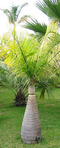 Flaschenpalme Hyophorbe lagenicaulis Pflanze 5-10cm Fasspalme Palme Rarität