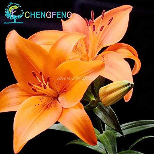 Green Seeds Co. 50 Pcs/Sac Plantes En Pot Lily plantes rares Plantes d'intérieur Bonsaï Diy plante Semillas Mixed Colors emballage 2016: Rose
