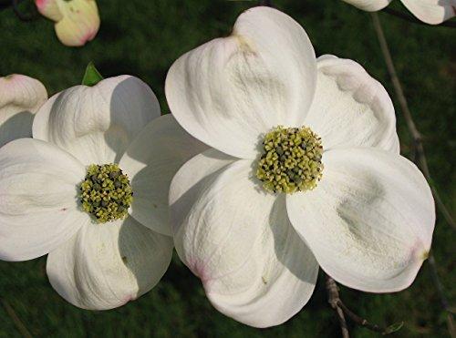Bianco Corniolo, Cornus Florida, Albero 10 Seeds (Vistosi Fiori, colore di caduta)
