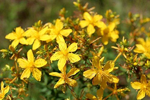 Johanniskraut Hypericum perforatum 500 Samen