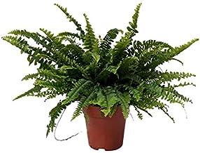 Nephrolepis exaltata Green Lady | Krulvaren | Luchtzuiverende kamerplant | hoogte 30-35 cm | pot - Ø12cm