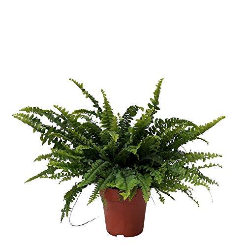 "Nephrolepis exaltata\""Green Lady\"" | Farn Zimmerpflanze | Luftreinigende Zimmerpflanzen | Zimmerpflanzen für Schatten | Indoor plants | Höhe 30-35 cm | Topf-Ø 12 cm"