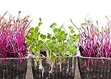 Semillas de germinación - rábano negro - 850 semillas