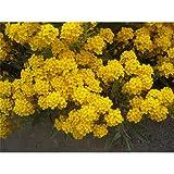 Alyssum saxatile 'Goldkugel' - Felsen-Steinkraut 'Goldkugel' - 9cm Topf