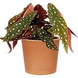 1 x Premium Begonia Maculata | Begonia Manchada | 20-30cm Planta de Interior en Maceta para la Venta