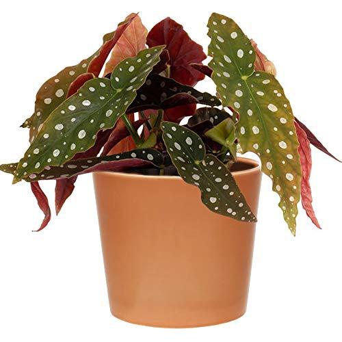 1 x Premium Spotted Begonia Maculata | 20-30cm Planta de interior en maceta para la venta