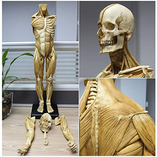LUCKFY 23 inch (60cm) Male Anatomy Figure, Human Body Muscle and Skeleton Anatomical Model for School Study and Teaching - Yellow