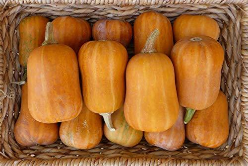 HONIC 25+ Seeds: Squash Samen: Honeynut Winter-Kürbis-Samen Frische Samen freies Verschiffen !!!