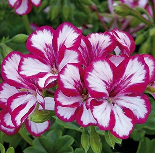 Deux couleurs Rouge Blanc univalve Géranium Graines Graines de fleurs vivaces Pelargonium peltatum Semences pour 100 graines Pièces d'intérieur/Sac 2