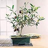 10個種子オリーブ木エキゾチックミニハウスガーデンレア種子送料無料