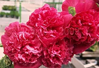 althea double red