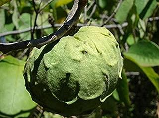 Nianyan 20 Pcs Custard Apple Fruit Buddha's Head Fruit Rare Giant Cherimoya Seeds Sugar Apple, SweetSop, Annona Tree Seeds