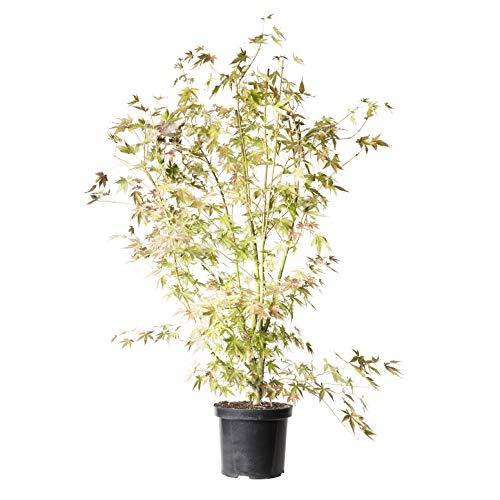 green at home Fächerahorn -Acer palmatum- Baumschulware 40-60 cm hoch, im 5L Container