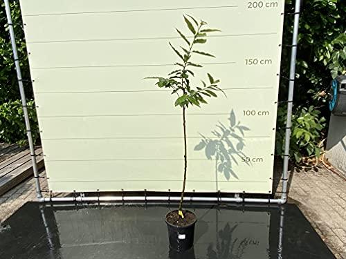 Castana SATIVA - Árbol de castaño 150 cm