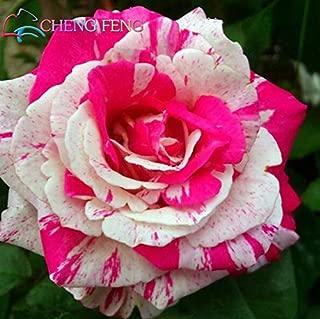Green : Hot Sale! 50Pcs Rare True Blood Black Dragon Rose Seeds Beautiful Stripe Rose Bush Plant Bonsai Flower Seeds DIY Home Garden