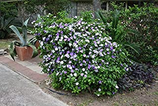 5 Seeds Brunfelsia pauciflora Floribunda Large Plant Variety Yesterday Today and Tomorrow Seeds Tropical Flower 3 Colors One Plant by Alyf Market
