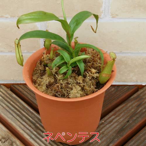 食虫植物 捕食パターンは4種・植物は6種から選べます 4号鉢(水苔処理) 食虫植物 観葉植物 耐寒性多年草 (ネペンテスグラシリス)