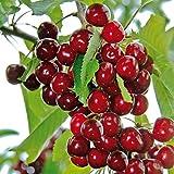 Keptei Samenhaus - Großfrüchtige Rot Kirsche Samen Säulenobst Kirschbaum Knorpelkirsche hochwertig winterhart mehrjaehrig (10)