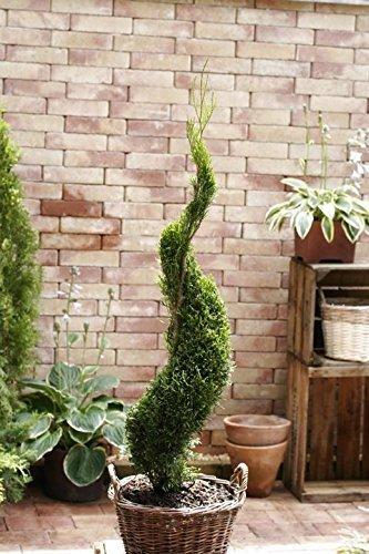 Pflanzen für Dich -  Garten Bonsai