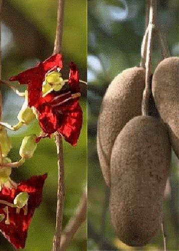 TROPICA - Leberwurstbaum (Kigelia pinnata var. africana) - 10 Samen