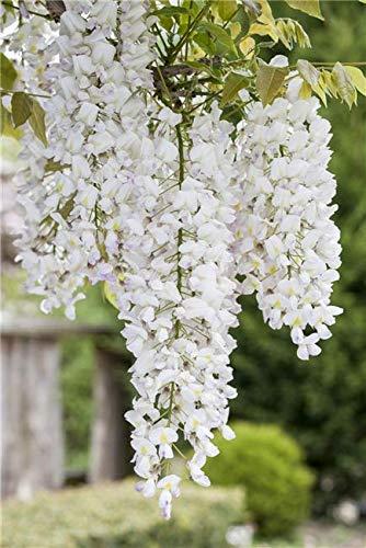 Weißer Chinesischer Blauregen Wisteria sinensis 'Alba' veredelte Kletterpflanze im Topf gewachsen (40-60cm)