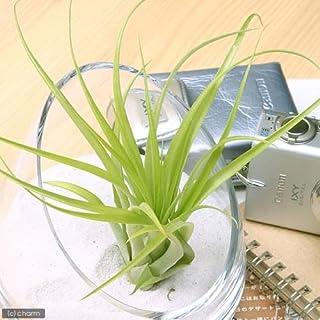 charm(チャーム) (観葉植物)エアープランツ ティランジア ブラキカウロス(1株)