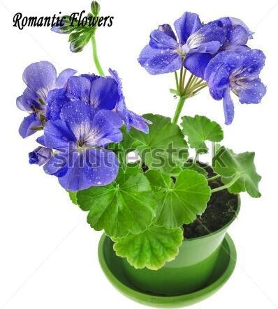 Nouvelle arrivee! 10 PCS/Paquet Géranium Seeds, la variété est complète Graines vivace Fleur Pelargonium peltatum Fleurs 8