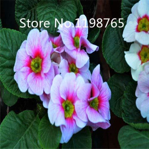 Noir: Promotion à prix spécial! 300 Primrose Seeds 10 Kinds Emballés Mixtes, Graines De Fleurs Germination Élevée De Jardin De Bricolage Blooming P