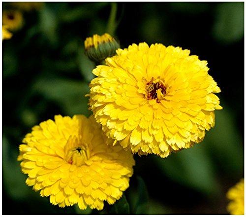Lot 100 graines de grands souci double de Jardins Ball's Golden Yellow - plante annuelle