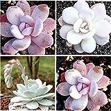 PLAT FIRM Germinación de las semillas: Alemania ECHEVERIA Mixta laui 3 tipos mixtos Cactus Semillas 20pcs / paquete