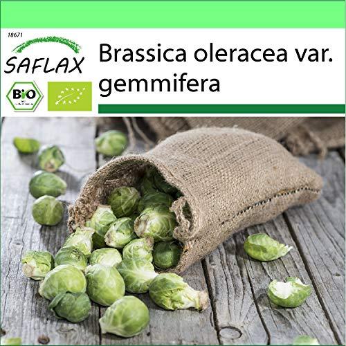 SAFLAX - Jardin dans la boîte - BIO - Chou de Bruxelles - Groninger - 30 graines - Avec pot en argile, support, substrat de culture et engrais - Brassica oleracea