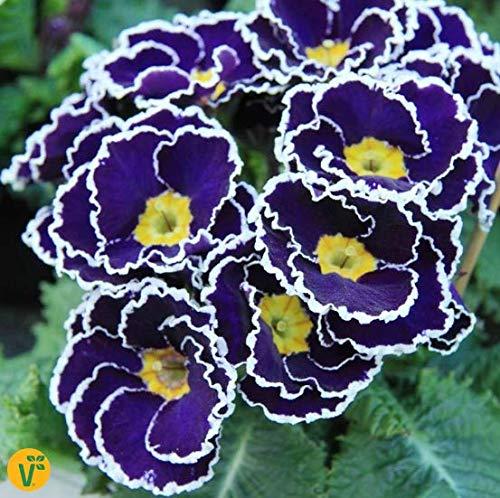 Yukio Samenhaus - 50pcs Raritäten Zuckerguss-Primel 'Sacarina Blue' Violette Blüten Blumensamen winterhart mehrjährig Frühjahrsblüher für Schalen/Töpfe
