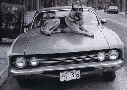 Dog On Hood Of Car - Avanti Funny German Shepherd Birthday Card